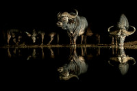 Dark: Buffalos Drinking Close